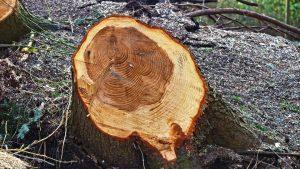 tree chopped cut