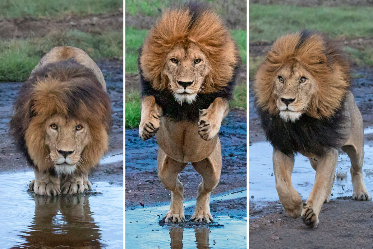 Lion leaps over stream — simply in case there are any crocodiles lurking