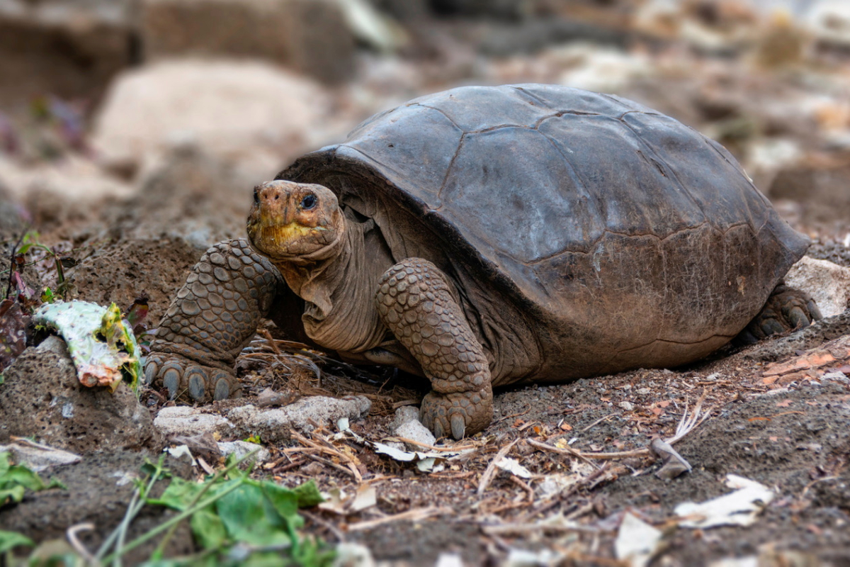 Large tortoise discovered once more after it was believed to be extinct for a century