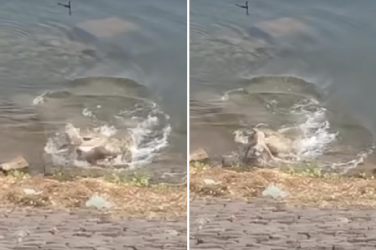Horror second large crocodile grabs whimpering canine from river financial institution because it drinks and drags pooch to its loss of life in India
