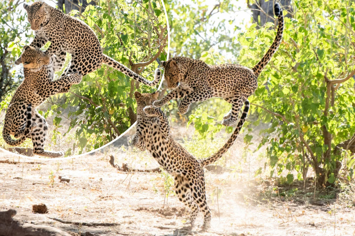 Playful leopard cub leaps on mum after stalking her for half an hour