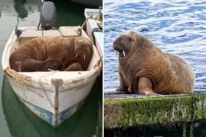 Wally the Walrus soaks up some sun after bidding au revoir to Britain