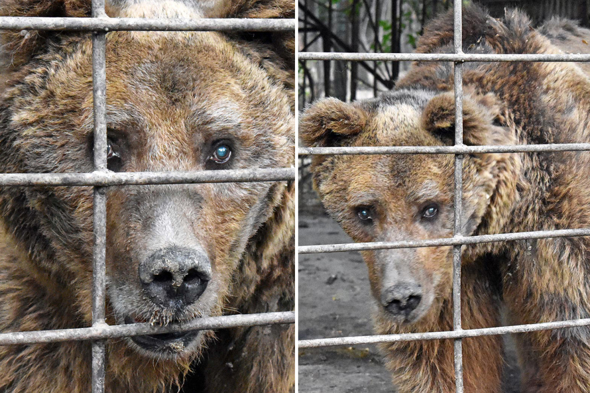 'World's saddest bear' has spent total life behind bars and 'goes days with out meals' at hellhole zoo