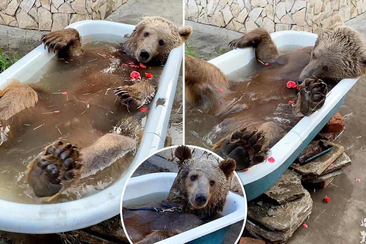 Balu the bear takes it simple throughout his each day rose-petal bathtub