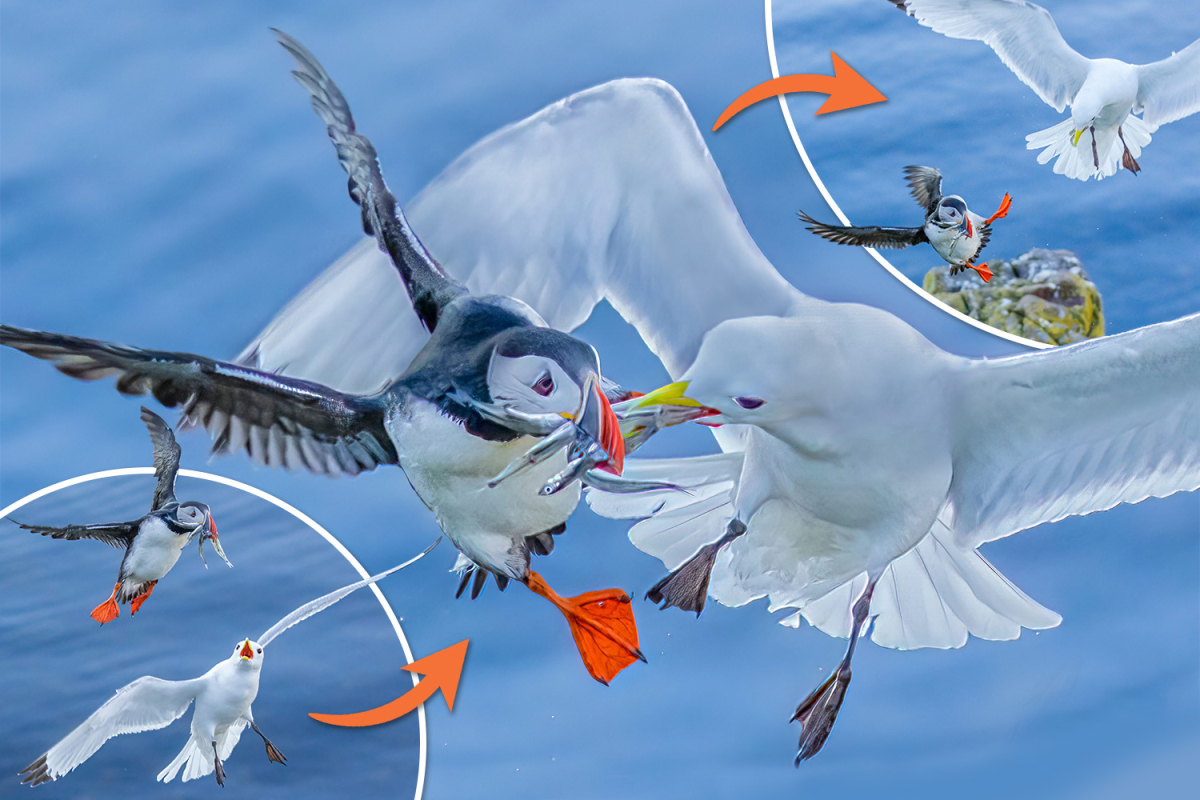 Second yobbish seagull tries to steal puffin's meals in mid-air duel