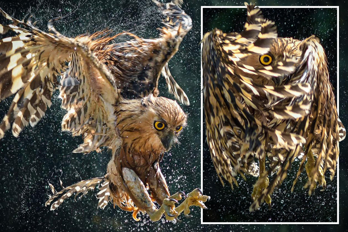 Owl peeps by way of its wings because it prepares to dive feet-first right into a river