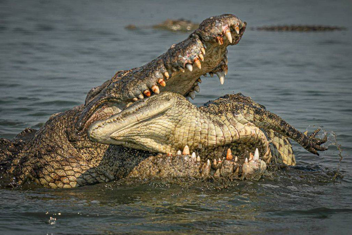 Stunning photos seize grotesque second 16-foot cannibal crocodiles feed on one in all their younger in Africa