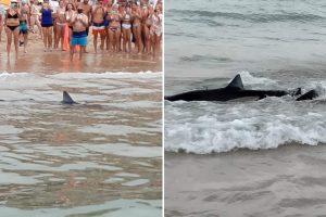 Brits flee Benidorm beach after massive killer SHARK spotted just yards from shore