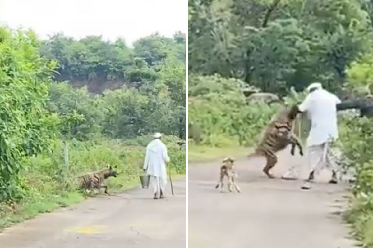 Horrifying second 200lb hyena leaps from the jungle and pounces on aged man and his canine