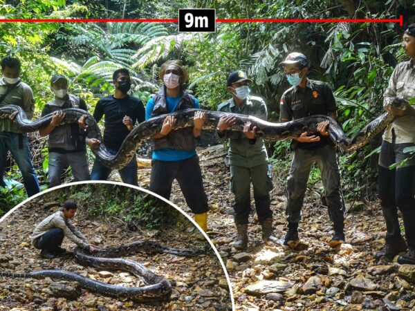 Wildlife rangers maintain up sedated python, measuring 30ft lengthy and weighing virtually 16st