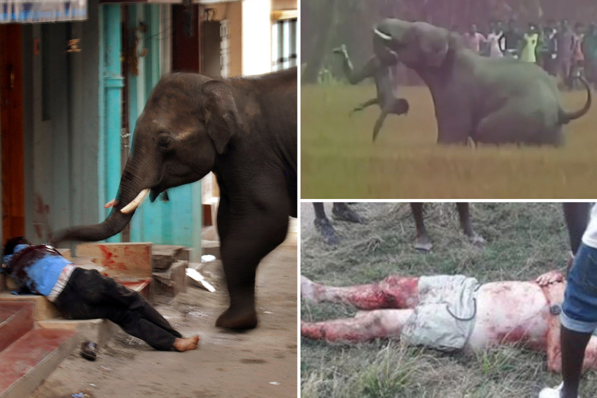 World's most horrific elephant assaults together with Osama bin laden 'serial killer' who mauled 27 folks to demise